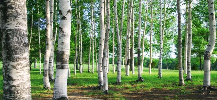 白樺林 高原によく見られる白樺林の様子。 高原の象徴『白樺』。その白樺が春に雪解け水を吸い上げて